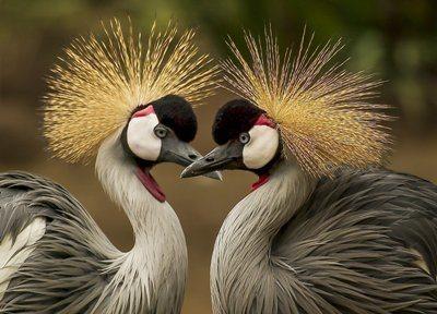 Nikon D750 Crested Cranes