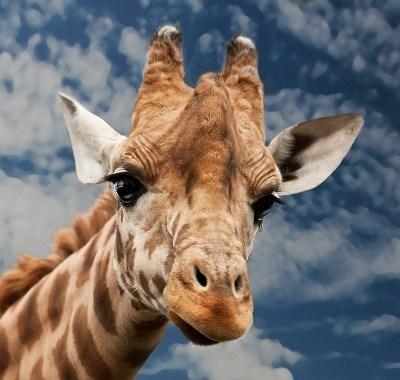 Nikon D750 Giraffe